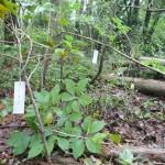 シキミ 名札をつけました。 別名 ハナノキ 仏前に供えたりします。 また、葉や樹皮から線香や抹香の材料でもあるそうです。 奥に見える札はスノキ 別名コウメ 実や葉に酸味があるのでこの名がついたそう。
