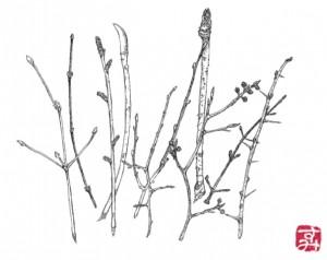 2013.2狐原山の冬芽たち
