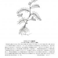 今月のひと枝,コミカンソウ