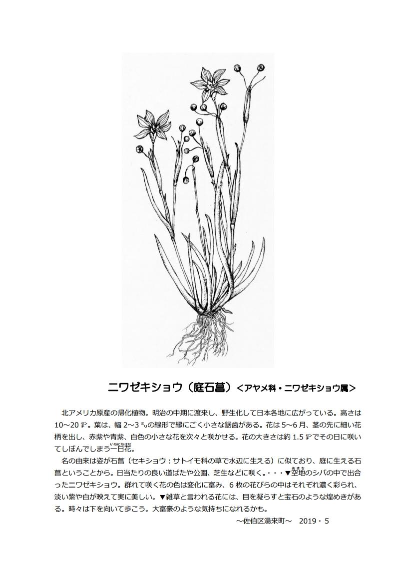 今月(2019.6)のひと枝 ニワゼキショウ