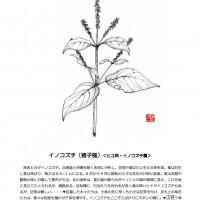 イノコズチ(猪子槌) < ヒユ科・ イノコズチ属>